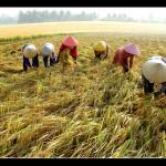 2083787_rice-harvest [1600x1200]